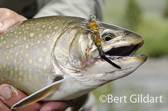 BrookTrout-3