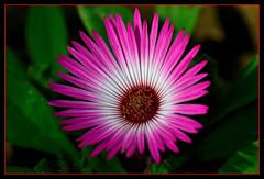 235 - Finding hope in the darkness .. (ArvinderSP) Tags: flower macro nature hope nikon darkness bokeh thegalaxy arvinder mygearandme mygearandmepremium ringexcellence d3100 findinghopeinthedarkness