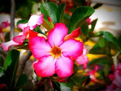 Flower (ingeniuss) Tags: leica flores lumix panasonic sayula g3kpp
