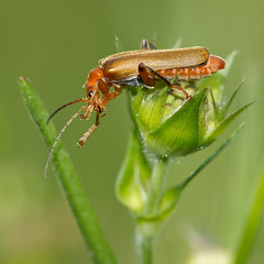 Tlphore livide (Cantharis livida) Soldier Beetle (Sinkha63) Tags: france macro nature animal wildlife beetle limousin coleoptera beynat cantharis soldierbeetle cantharidae coloptre cantharislivida cantharide tlphore tlphorelivide