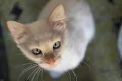 (deadoll) Tags: morning pet cats sun white sol animal cat canon fur kitten kat blueeyes kittens gato 7d arya gata felino kit pur babycat sooc canon7d catnipaddicts