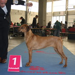 "Ruby Best Junior 2012 Int. Dogshow Antwerpen (B) <a style=""margin-left:10px; font-size:0.8em;"" href=""http://www.flickr.com/photos/68800547@N03/7083673477/"" target=""_blank"">@flickr</a>"