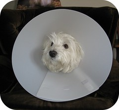 """4/12B """"How long do I have to wear this?"""" (ellenc995) Tags: friends riley surgery westhighlandwhiteterrier coth supershot akob bladderstones abigfave anawesomeshot citrit pet100 platinumheartaward rubyphotographer 100commentgroup coth5 naturallywonderful 12monthsfordogs 5wonderwall thesunshinegroup sunrays5 challengeclubchampion"""