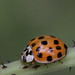 Asian Lady Beetle in SE-Germany