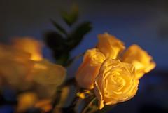 Birthday Roses Lensbaby (Andrew Aliferis) Tags: birthday flowers blue roses sunlight blur love andy yellow lensbaby andrew 3g gift wife aga controlfreak aliferis