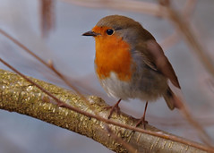 Robin Tee Lake 26.04.2014 (Tim J Preston) Tags: flowers red lake macro bird nature pool robin birds fauna pond flora breast shropshire wildlife bees butterflies reserve bugs telford wellington trust local society tee avian invertebrates redbreast lnr ornithological dothill
