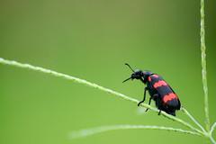 the balancing act! ([s e l v i n]) Tags: red india green nature bug insect frames dof walk beetle hires prints greenery balance wallpapers balancing gujarat saputara selvin d7100wallpapers
