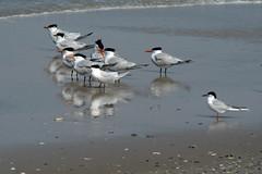Waterfowl (MJMPhoto II) Tags: ocean birds shoreline outer banks
