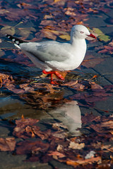 I Do love Myself (Jocey K) Tags: newzealand christchurch seagulls water leaves birds reflections puddle