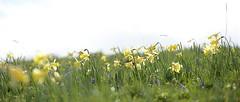 Jonquilles (Michel Seguret (Thanks for + 5.000.000 views)) Tags: mountain france flower primavera nature fleur berg field montagne spring flora nikon plateau natur feld natura campo prairie montaa blume fiore printemps auvergne flore frhling d800 massifcentral aubrac lozre michelseguret