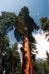 Mariposa Grove (Shutterbug Fotos) Tags: california park tree nature beauty nationalpark amazing yosemite lensflare scanned redwood naturalwonder sequoia mariposagrove cananrebel2000