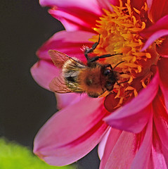 Bee in the Breeze (Gaz-zee-boh) Tags: dahlia flower london nature bee windowsillgarden