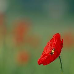 Tout frais du jour **--*+-°--° (Titole) Tags: red squareformat poppy 15challengeswinner favescontestwinner challengegamewinner thechallengefactory herowinner titole nicolefaton