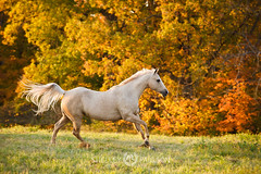shelleypaulson_2011_130 (Shelley Paulson) Tags: autumn equine fall gallop horse liberty palomino