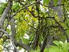"""阿勃勒 Cassia fistula (ddsnet) Tags: shower sony cybershot cassiafistula tree"""" 阿勃勒 黃金雨 cybershor goldenshowertree """"golden 金急雨 豬腸豆 臘腸樹 波斯皂莢 牛角樹 金鏈花 婆羅門皂莢 長果子樹 """"cassia fistula"""" hx100v"""