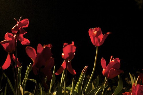 nighttime tulips