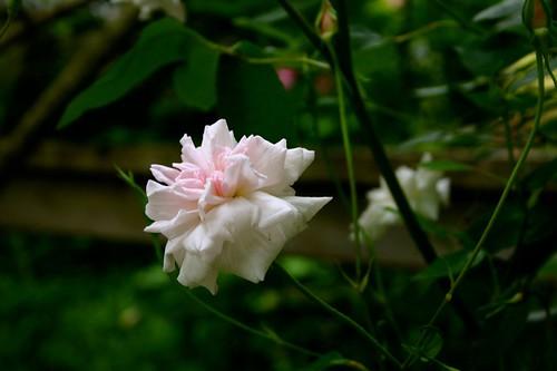 an orphan rose