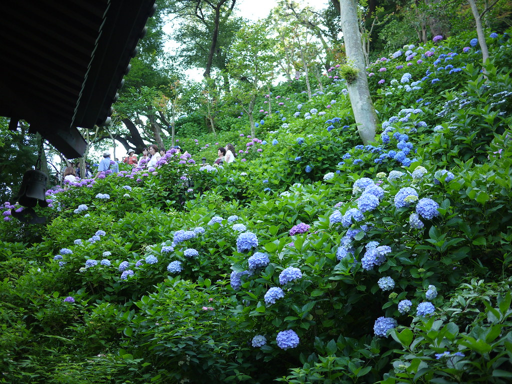 Hase Temple - Hydrangea
