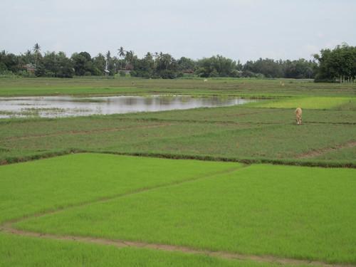 Rice paddies on Ko Treung