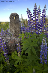 Great Gray Owl fledgling in Lupine (www.jessfindlay.com) Tags: wild canada color colour bird nature animal animals canon outdoors photography fly flying pretty bc pacific britishcolumbia wildlife birding flight feather aves canadian environment wilderness picturesque westcoast birdwatching naturalworld animalia avian naturephotography animalsinthewild birdphotography colorimage beautifulbritishcolumbia beautyinnature 50d colourimage canon50d 400mmf56 jessfindlay