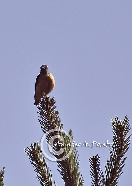 Roquero Rojo I (Monticola saxatilis)