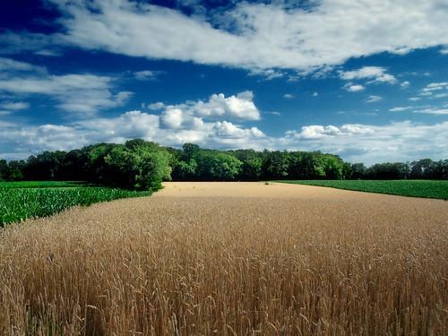 [フリー画像] 自然・風景, 田畑・農場, 小麦・コムギ, アメリカ合衆国, ペンシルベニア州, 201107071300