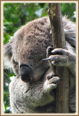 Gettin' The Finger (Mark-Cooper-Photography) Tags: sleeping canon australia victoria attitude koala vic greatoceanroad sx1is markcooperphotography
