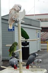 Parrots at Old Fisherman's Wharf, Monterey (SomePhotosTakenByMe) Tags: california vacation usa bird animal america pier monterey downtown unitedstates urlaub parrot wharf fishermanswharf kakadu cockatoo amerika tier vogel innenstadt kalifornien oldfishermanswharf papagai