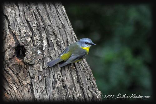 185-365 Eastern Yellow Robin