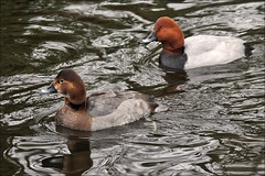 Couple Common Pochards (Foto Martien (thanks for over 2.000.000 views)) Tags: man holland male bird netherlands dutch female duck nationalpark couple pair paar nederland waterbird groningen waterfowl vrouw friesland eend vogel niederlande lauwersmeer koppel mannetje vrouwtje aythyaferina frysln commonpochard divingduck nationaalpark paartje tafelente tafeleend watervogel gowienka porrneuropeo fuligulemilouin a550 porrncomn taffeland brunand duikeend lauwersmar martienuiterweerd martienarnhem sony70300gssmlens sonyalpha550 mygearandme mygearandmepremium mygearandmebronze mygearandmesilver mygearandmegold mygearandmeplatinum mygearandmediamond dblringexcellence fotomartien tplringexcellence kaczkardzawogowa eltringexcellence grinsln milouindeurope