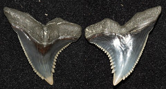 Snaggletooth (Hemipristis Serra) (Fossiltoothpic) Tags: animal animals canon tooth fossil shark teeth paleontology hemi prehistoric extinct fossils sharkteeth sharktooth 100mmmacro miocene serrations canoneos7d fossilsharktooth fossiltooth hemipristis fossilteeth