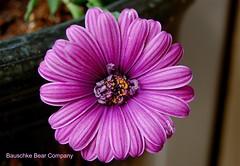 Gerbera (BauschkeBearCompany) Tags: flowers gerbera