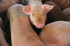 "Iowa Pig • <a style=""font-size:0.8em;"" href=""http://www.flickr.com/photos/76145908@N08/6938972164/"" target=""_blank"">View on Flickr</a>"