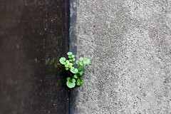 frontire (Octone) Tags: street plant nature ecology hope weeds dof sidewalk growth greenery growing asphalt survival chlorophyl