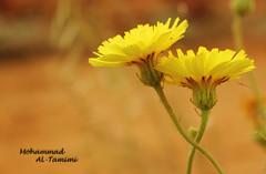 الله لا يفرق بينا ): (Mohammad Al-Tamimi) Tags: flower الله لا بينا يفرق حوذان