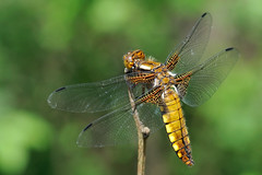 Broad-bodied Chaser (ste.it) Tags: macro dragonfly chaser libellula depressa tamron90 broadbodied physis