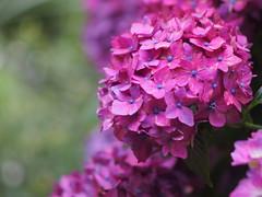 P6231228 (julajp (A while busy)) Tags: auto flower july tele hydrangea   f28 135mm 6   rokkorpf  minolta epl3  epl3minolta f28hydrangeaolympusepl3olympus