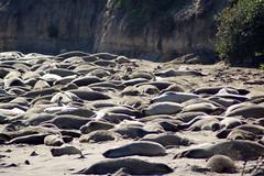 2013-09-15 09-22 Kalifornien 163 Ano Nuevo State Reserve