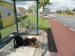 2014-0915 (schuttermajoor) Tags: nederland hond che 2014 airedaleterrier waardenburg tielerwaardwandelroute