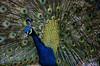 Zoo de Barcelona (3).- (ancama_99(toni)) Tags: barcelona blue vacation españa color colors azul fauna zoo spain nikon aves catalonia ave catalunya vacaciones barcellona cataluña barcelone pavoreal 1000views 18105 2014 catalogne 10favs 10faves 25favs 25faves d7000