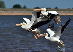 Birds - We Have Lift Off [Explored] (zendt66) Tags: birds photo nikon theme okc weekly challenge lakehefner d90 zendt66 52weeks2014