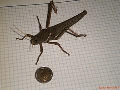 langosta_gigante_tucura_2 (Bruno MarT) Tags: insectos gigante insecto langosta tucura