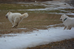 """Chase Is Booking Out Of There Like A Jack Rabbit Who Ate Some CatNip • <a style=""""font-size:0.8em;"""" href=""""http://www.flickr.com/photos/96196263@N07/14217972865/"""" target=""""_blank"""">View on Flickr</a>"""