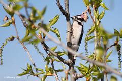 Downey Woodpecker 1 (Canon Queen Rocks (860,000 + views)) Tags: park trees wild nature birds wings woodpecker colours wildlife beak feathers perched markings mothernature avian downeywoodpecker