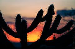 2014.0139 - Cactus (Adriano Aquino) Tags: sunset pordosol brazil cactus brasil cactaceae seca northeast arid cactos nordeste suculenta cardo serto caatinga kakto sertanejo semirido cactceas xerfita claddio