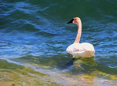 I thought this was the shallow end (daletom) Tags: toronto water birds swan lakeontario