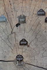 Mt Rainier Natl Park - Longmire - Tree Cross-section (jrozwado) Tags: northamerica usa washington mtrainier nationalpark tree crosssection timeline