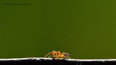 Ant Macro (  ) Tags: insect ant horizontal manualexposure nikond7000 macro micro handheld gauravkavathekar wwweyepicsnet myeyepics green india bhopal