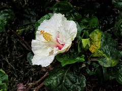 Chuva (rain) (Mag Sa) Tags: spring printemps primavera raindrops drop macro color garden rain chuva flowers flower flor canon