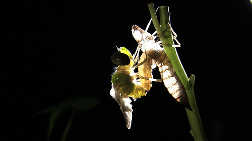 羽化中的蜻蜓,張博鈞攝,出自其生態紀錄片〈戀戀火金姑〉